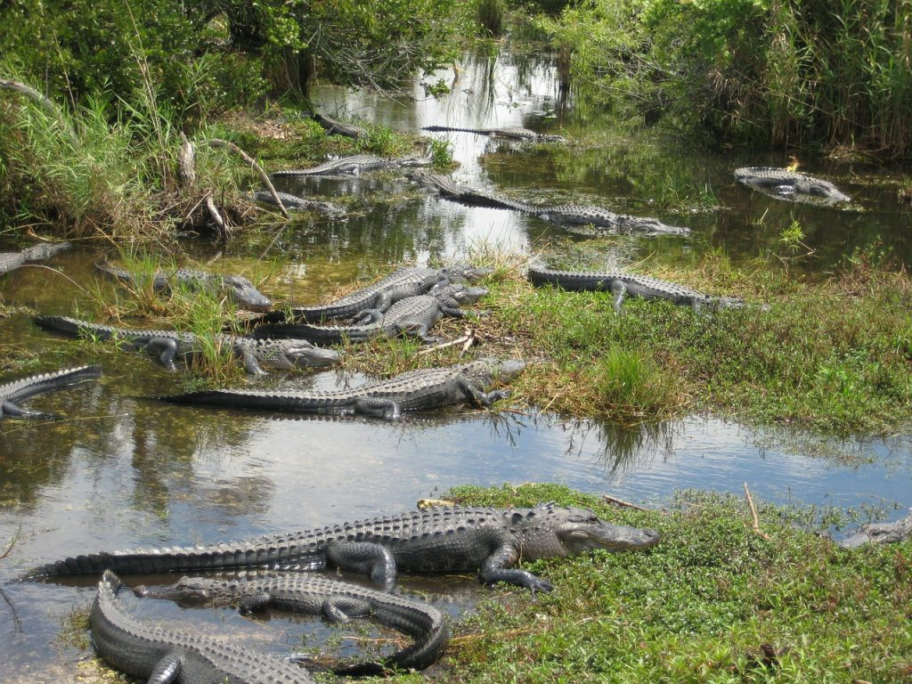 alligator swamp